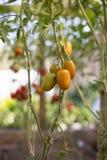 Reife, frische Tomaten der roten, gelben, grünen Farbe hängen an den Niederlassungen im Gewächshaus stockfotos
