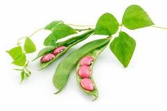 Reife Gartenbohnen mit dem Startwert für Zufallsgenerator und Blättern getrennt Lizenzfreie Stockfotos