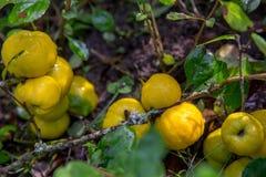 Reife gelbe japanische Quitte auf Niederlassungen mit Blättern im Garten Lizenzfreie Stockfotos
