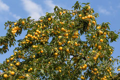 Reife gelbe Pflaumen auf dem Baum Obstbaum Stockbild