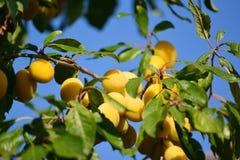 reife gelbe pflaumen auf dem baum obstbaum stockfoto bild 47654452. Black Bedroom Furniture Sets. Home Design Ideas