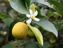 Reife gelbe Zitrone mit Blume Stockbild