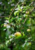 Reife grüne Äpfel mit Tropfen nach Regen Lizenzfreie Stockfotografie