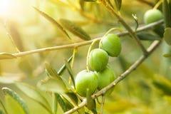 Reife grüne Oliven Stockfoto