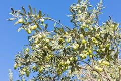 Reife grüne Oliven auf Baum Lizenzfreies Stockfoto