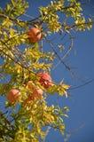 Reife Granatapfelfrüchte im Baum Stockfotografie