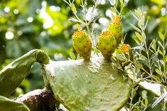 Reife Kaktusfrüchte Stockbild