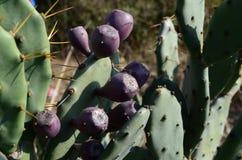 Reife Kaktusfrüchte Lizenzfreie Stockfotografie