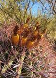 Reife Kaktusfrüchte Lizenzfreie Stockbilder