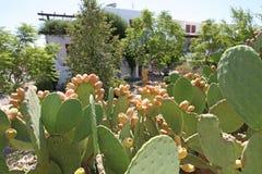 Reife Kaktusfrüchte Stockfotos