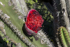 Reife Kaktusfrüchte Stockfoto
