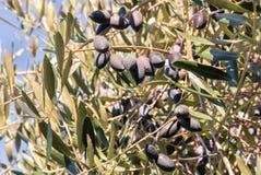 Reife Kalamata-Oliven auf Olivenbaum zur Erntezeit Lizenzfreie Stockfotografie