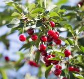 Reife Kirschen auf dem Baum in der Natur Lizenzfreie Stockfotos