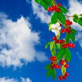 Reife Kirschen auf Niederlassung auf Himmelhintergrund Lizenzfreie Stockbilder