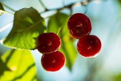 Reife Kirschen des Sommers Stockfotos