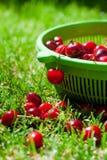 Reife Kirschen im grünen Korb auf dem Gras Lizenzfreie Stockfotos