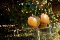 Reife Kiwifrüchte auf einem Zweig Stockfoto