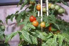 Reife kleine Tomaten angebaut auf den Niederlassungen stockfotos