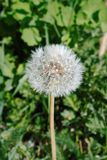 Reife Löwenzahnblume mit vielen Samen Lizenzfreies Stockbild