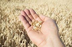 Reife Landwirthand, die eine Handvoll Weizenkörner gerade ausgewählt hält Stockfotos