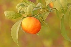 Reife Mandarine auf einem Baumast Stockfoto