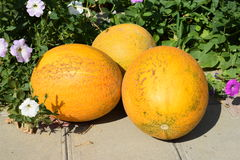 Reife Melone Stockbild