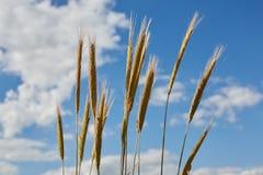 Reife Ohren der Gerste gegen den blauen Himmel Lizenzfreie Stockfotos