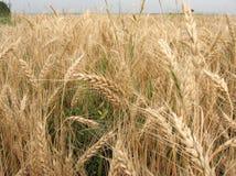 Reife Ohren des Weizens stockbild