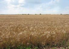 Reife Ohren des Weizens stockfoto