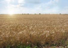 Reife Ohren des Weizens stockfotografie