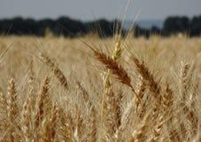 Reife Ohren des Weizens auf der Landwirtschaft fangen Foto auf Lager auf Stockfoto
