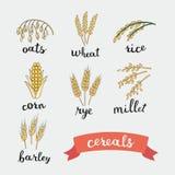 Reife Ohren von Getreidebeschriftungsnamen auf englisch Stockfotografie