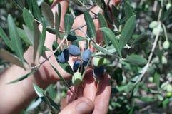 Reife Oliven auf einer Niederlassung Lizenzfreies Stockbild
