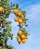 Reife Orangen auf Baum Lizenzfreies Stockfoto