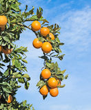Reife Orangen auf Baum Stockfotos