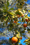 Reife Orangen auf Baum Stockbild
