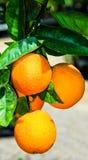 Reife Orangen auf dem Baum Stockfotografie