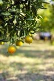 Reife Orangen auf dem Baum Lizenzfreie Stockfotografie