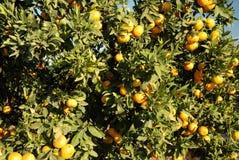 Reife Orangen auf einem Baum Lizenzfreies Stockfoto