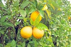 Reife Orangen auf einem Orangenbaum Stockbild