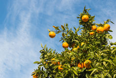 Reife Orangen auf Orangenbaum gegen blauen Himmel Stockbild