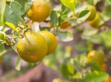 Reife Orangen der Nahaufnahme auf dem Baum am sonnigen Tag Stockbilder