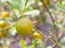 Reife Orangen der Nahaufnahme auf dem Baum am sonnigen Tag Stockfotos