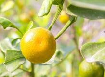 Reife Orangen der Nahaufnahme auf dem Baum am sonnigen Tag Stockfotografie