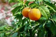 Reife Orangen, die auf Baum im Obstgarten wachsen Stockfotos
