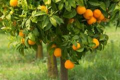 Reife Orangen, die auf Baum wachsen Stockfotografie