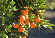 Reife Orangen, die an einem Baum hängen Stockbilder