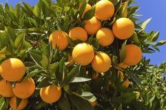 Reife Orangen, die an einem Baum hängen Lizenzfreie Stockfotos