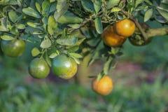 Reife Orangen, die an einem Baum hängen Stockfotografie