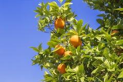 Reife Orangen, die an einer Niederlassung auf Hintergrund des blauen Himmels hängen Lizenzfreie Stockfotos